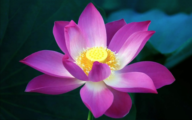 Lotus-Flower-HD-Wallpapers