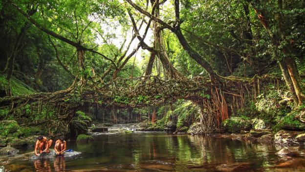 megalaya trees